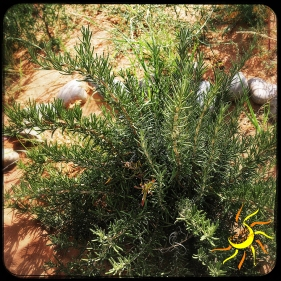 Organic Rosemary, garden grown in New Mexico
