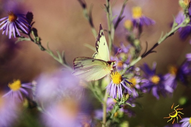 Yellow Clouded Sulphur Butterfly.