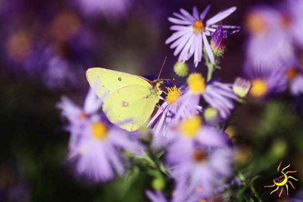 Yellow Clouded Sulphur Butterfly